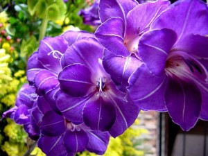 gladiolus_purple_wallpaper-normal