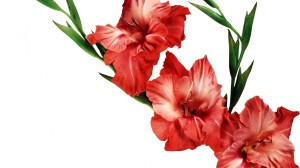 leaves-flower-red-gladiolus-wallpaper-floral-image-wallwuzz-hd-wallpaper-19167