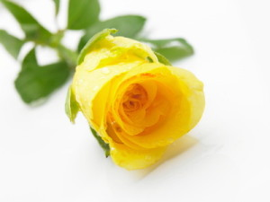 What does your rose tell about your relations ferns n petals single yellow rose mightylinksfo