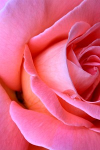 Coral Rose With Tear