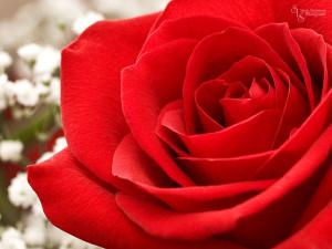 Rose-Wallpaper-34