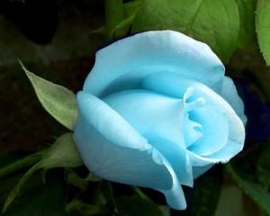 blue_rose1