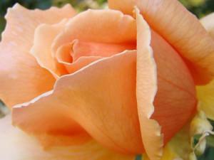 peach-rose-3