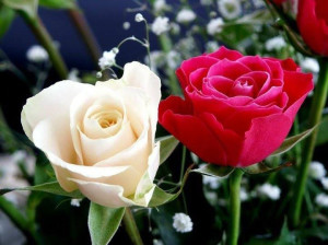 red-and-white-rose