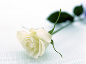 What does your rose tell about your relations ferns n petals white roses flowers wallpapers 10 mightylinksfo