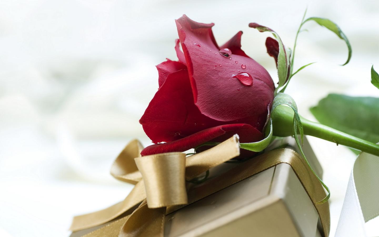rose-a-drop-of-dew-flower-gift-Favim.com-485225