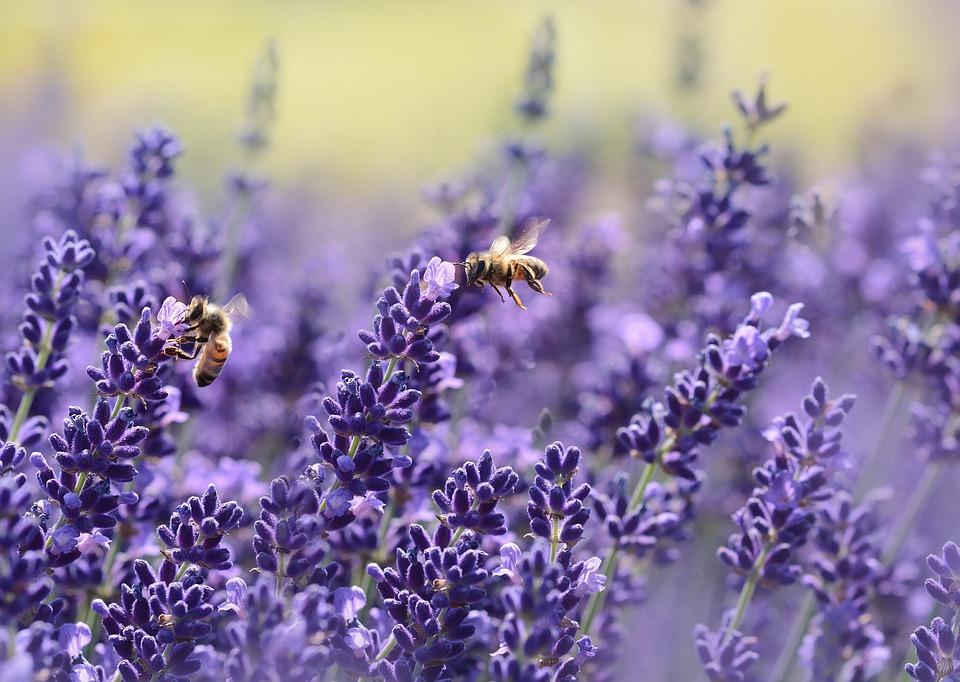 lavender helps sleep well