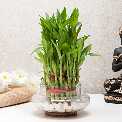 Importance Of Lucky Bamboo In Improving Quality Of Life Ferns N