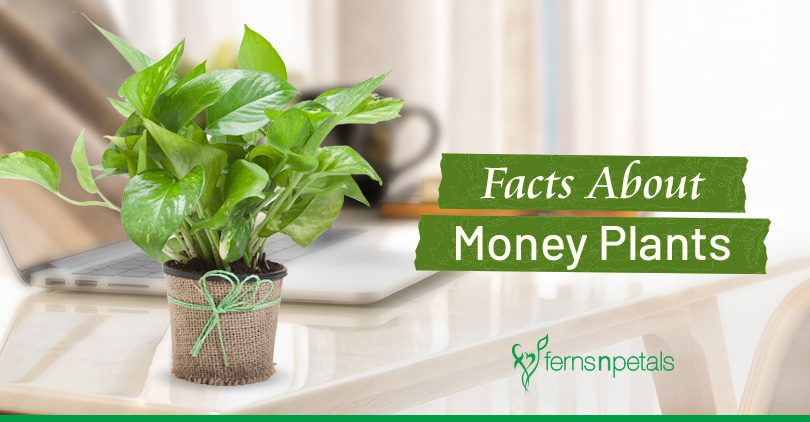 Amazing Facts to Learn About Money Plants