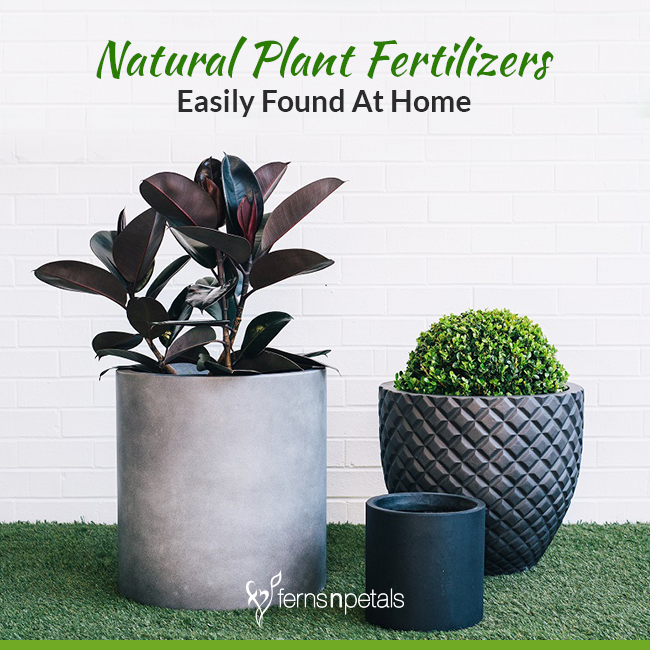 Natural Plant Fertilizers Found Easily At Home