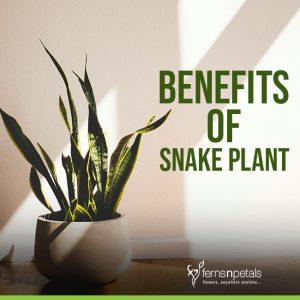 Benefits of Snake Plant