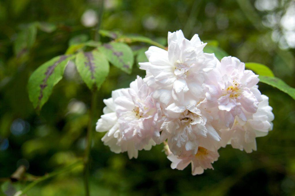 Oyster rose