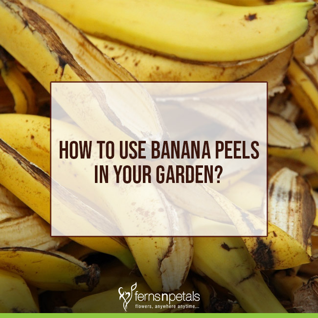 Banana Peels As Fertilizer