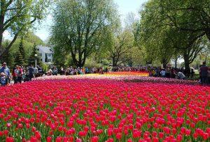Tulip Festival of Canada