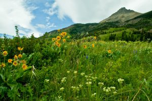 Wildflower Festival of Waterton