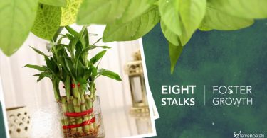 Meaning of Lucky Bamboo Plant Stalks