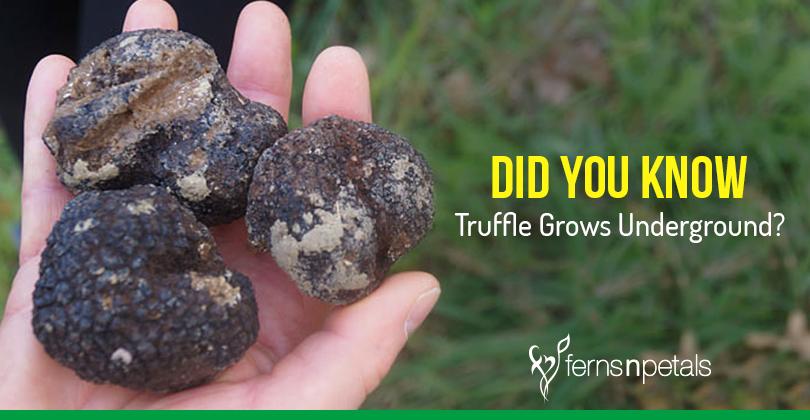 truffles grow underground
