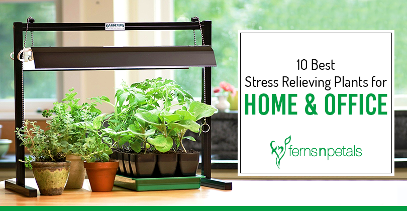 Stress Relieving Plants for Home and Office