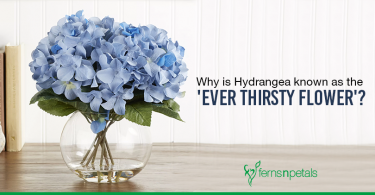 hydrangea flowers are thirsty