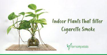 Indoor-Plants-that-filter-Cigarette-Smoke