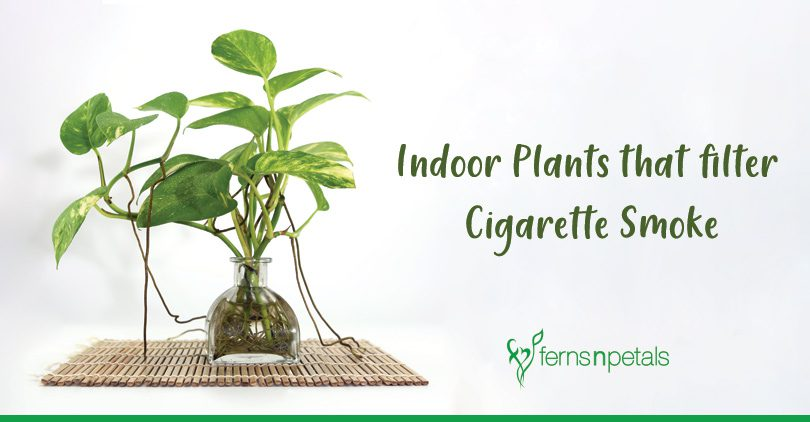Indoor-Plants-that-filter-Cigarette-Smoke