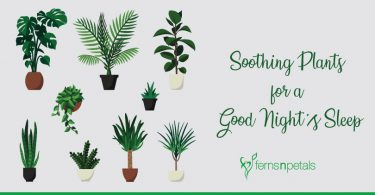 blog-cover---Soothing-Plants-for-a-Good-Night's-Sleep