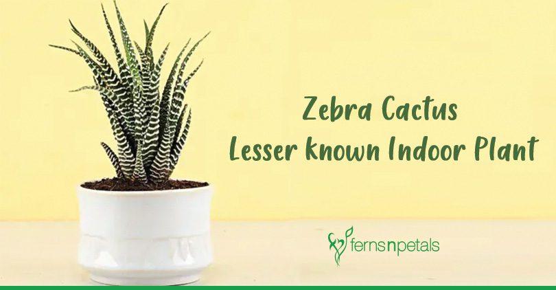 Zebra Cactus- Lesser-known Indoor Plant