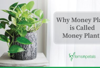 Why Money Plant is Called Money Plant