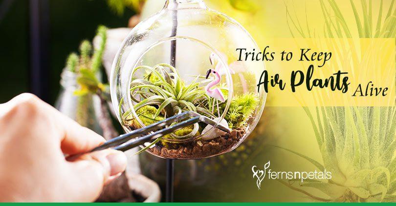 6 Tricks to Keep Air Plants Alive