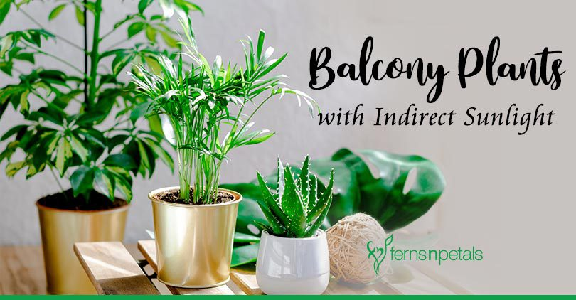 Top 5 Balcony Plants That Need Indirect Sunlight Ferns N Petals