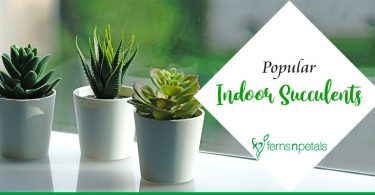 Top 8 Popular Indoor Succulents