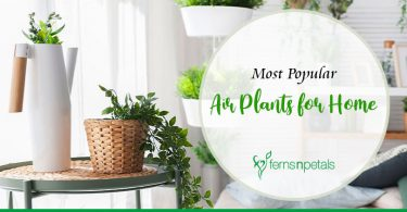 Most Popular Air Plants for Home