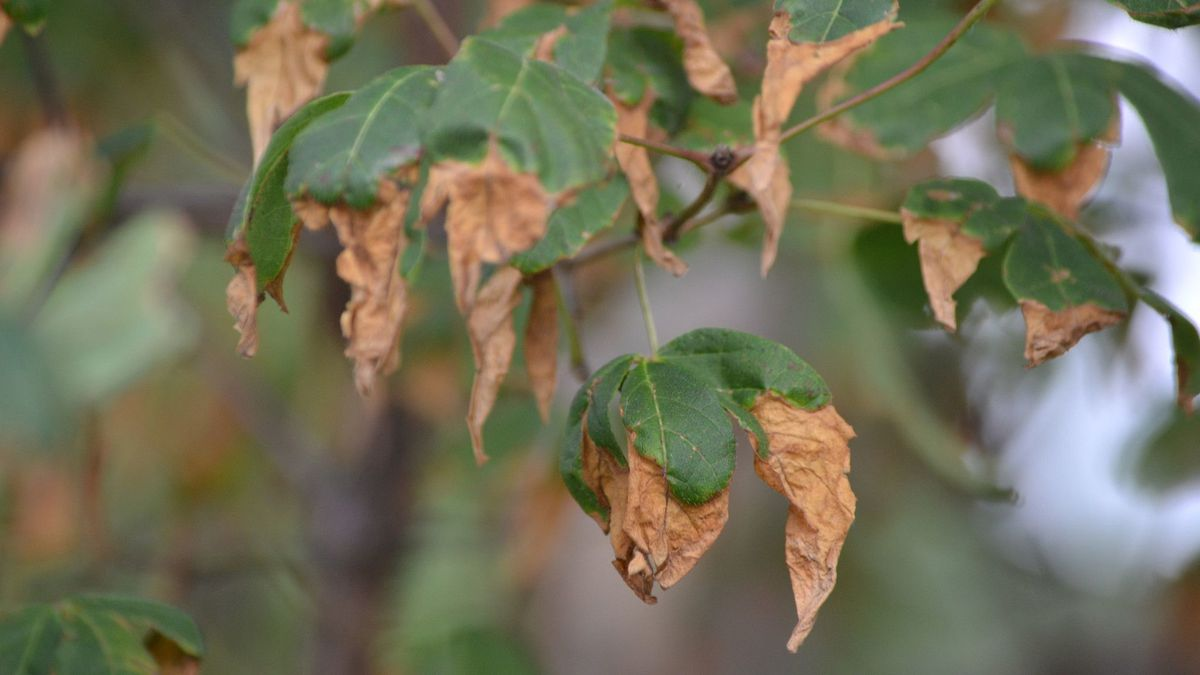 Browning Leaves & Tips