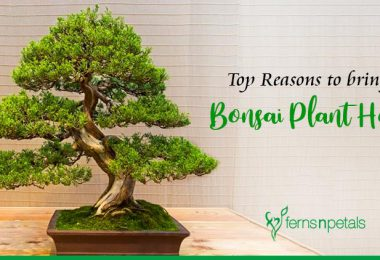 Top Reasons to Bring a Bonsai Plant Home