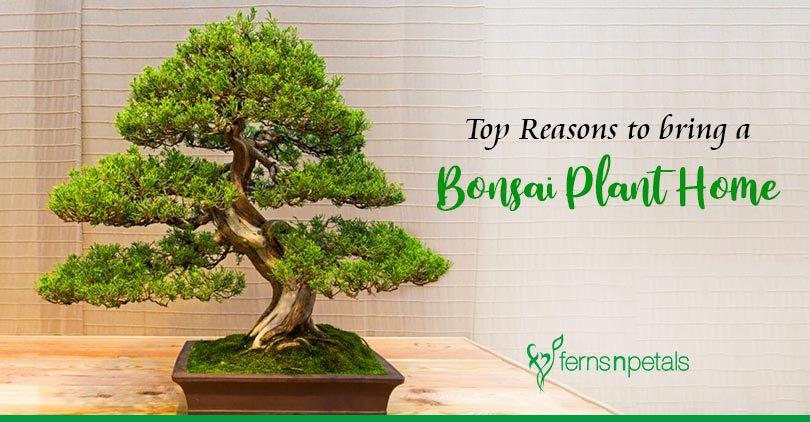 Top Reasons to Bring a Bonsai Plant Home