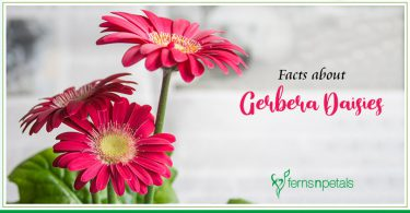 Facts about Gerbera Daisies