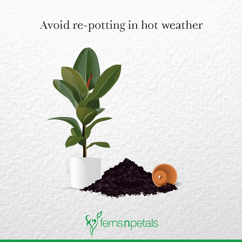 Avoid re-potting in Hot Weather