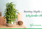 usting myths about Lucky Bamboo Plants