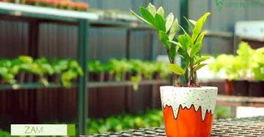 Zamia Plant Care Guide
